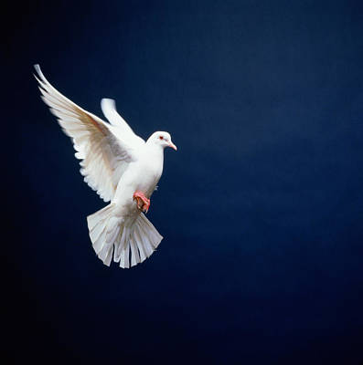 Blue Background Photograph - White Dove In Flight, Blue Background by Getty Images