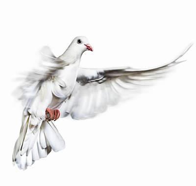 Photograph - White Dove In Flight by Gandee Vasan