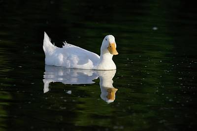 Photograph - White Duck On Pond by Kae Cheatham