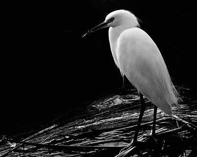 Photograph - White Egret by David Rout