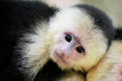 Stellar Interstellar -  White-faced Capuchin by Kathleen Struckle