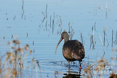 Photograph - White-faced Ibis by P W