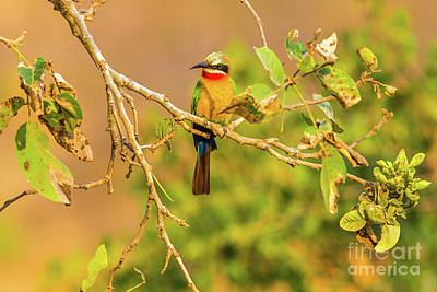 Photograph - White Fronted Bee Eater Bird by Benny Marty