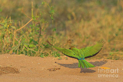 Photograph - White Fronted Bee Eater Bird Flying by Benny Marty