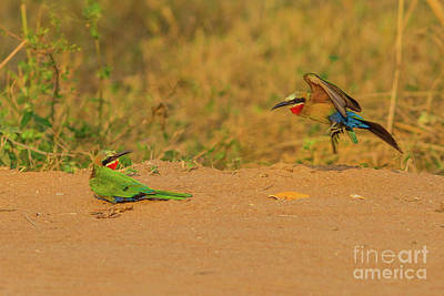 Photograph - White Fronted Bee Eater Birds Mating by Benny Marty