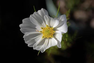 Photograph - White Garden Cosmos by Scott Lyons