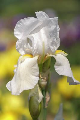 Photograph - White Grace. Tall Bearded Iris by Jenny Rainbow