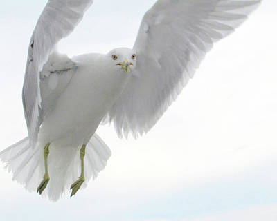 Photograph - White Gull by Jonathan R. Smith