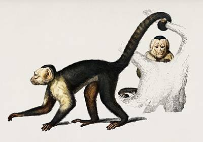 Painting - White Headed Capuchin  Cebus Hypoleucus  Illustrated By Charles Dessalines D Orbigny  1806 1876  2 by Celestial Images