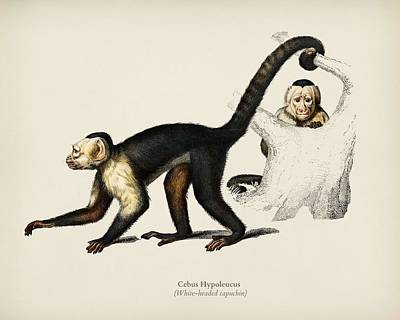 Painting - White Headed Capuchin  Cebus Hypoleucus Illustrated By Charles Dessalines D Orbigny  1806 1876   by Celestial Images
