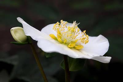 Photograph - White Hellebore by Gill Billington