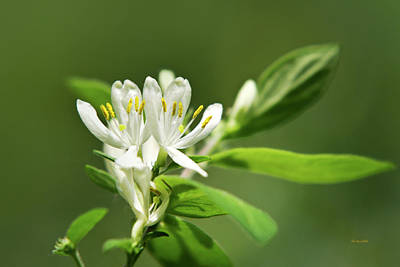 Photograph - White Honeysuckle Flowers With Green Background by Christina Rollo