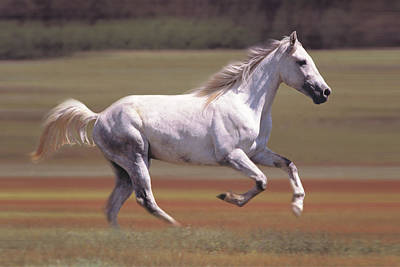 White Horse Running In Field Art Print by Comstock