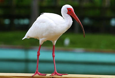 Photograph - White Ibis by Anthony Jones