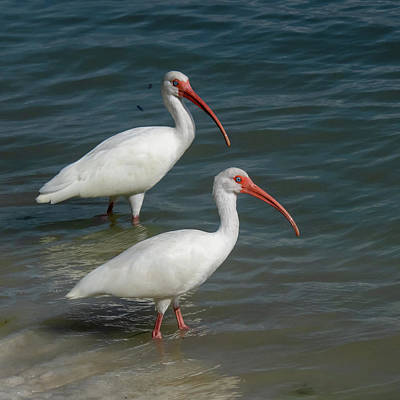 Photograph - White Ibis Pair by Ken Stampfer