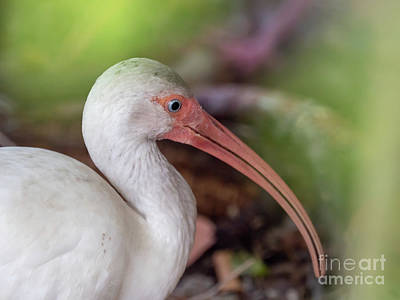 Drawing - White Ibis by Scott and Dixie Wiley