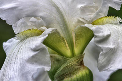 Photograph - White Iris by Evie Carrier