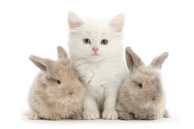 Photograph - White Kitten Buff Bunnies by Warren Photographic
