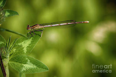 Royalty-Free and Rights-Managed Images - White-legged damselfly by Veikko Suikkanen