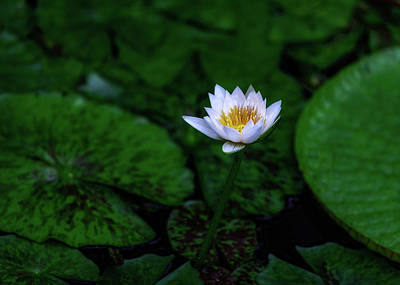 Photograph - White Lotus by Jade Moon