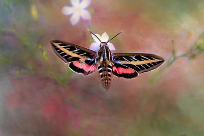 Photograph - White - Lined Sphinx by Donna Kennedy