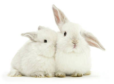 Photograph - White Love Bunnies by Warren Photographic