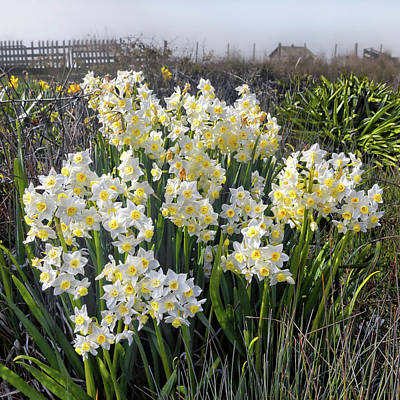 Photograph - White Narcissus Blooming In The Cow Pasture  by Kathleen Bishop