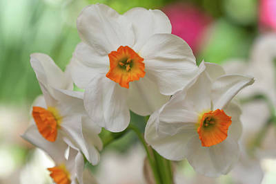 Photograph - White Narcissus Geranium 1 by Jenny Rainbow