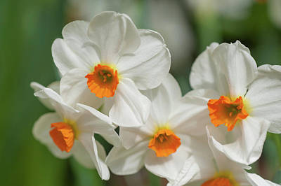 Photograph - White Narcissus Geranium by Jenny Rainbow