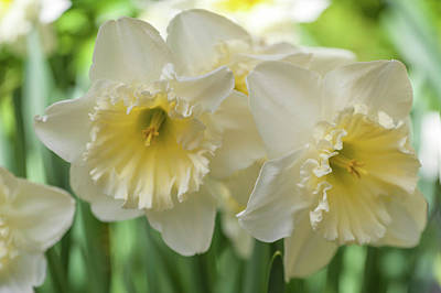 Photograph - White Narcissus Ice Follies 1 by Jenny Rainbow