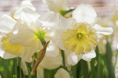 Photograph - White Narcissus Ice Follies 2 by Jenny Rainbow