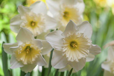 Photograph - White Narcissus Ice Follies by Jenny Rainbow