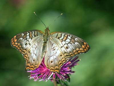 Photograph - White Peacock Butterfly 8520-110618-1cr by Tam Ryan