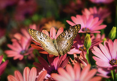 Photograph - White Peacock Butterfly On Pink Daisies  by Saija Lehtonen