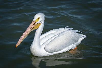 Photograph - White Pelican 1 by David Heilman