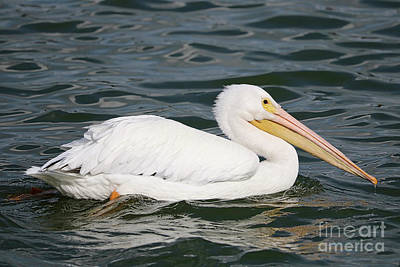 Photograph - White Pelican In Swirling Water by Carol Groenen