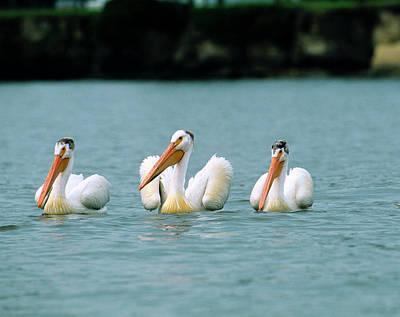 Photograph - White Pelican, Pelecanus by Barrett & Mackay