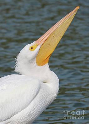 Photograph - White Pelican Profile Pose by Carol Groenen