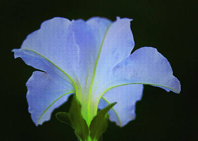 Digital Art - White Petunia by Sandra Day