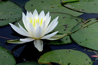 Photograph - White Pond Lilly by Jeffrey PERKINS