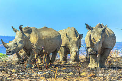 Photograph - White Rhinos In Umfolozi by Benny Marty