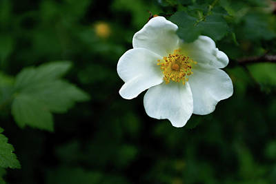 Photograph - White Rose by Dixon Pictures