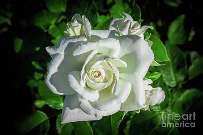 Animal Paintings David Stribbling - White Rose in the garden by Stefano Senise