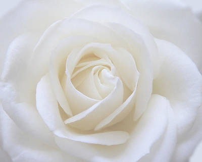 Photograph - White Rose Macro by Johanna Hurmerinta