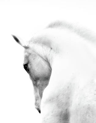 Photograph - White Stallion Andalusian Horse Neck by 66north