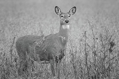 Blue Hues - White Tail Deer Black and White by Susan McMenamin