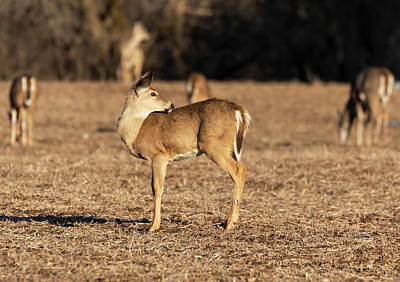 Photograph - White-tailed Deer 2019-3 by Thomas Young