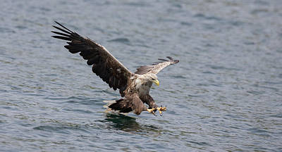 Photograph - White-tailed Eagle About To Strike by Peter Walkden
