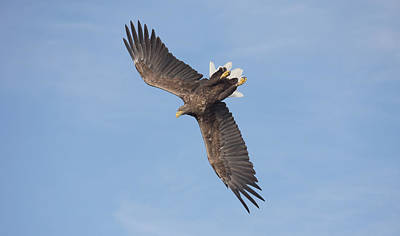 Photograph - White-tailed Eagle Against A Blue Sky by Peter Walkden