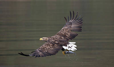Photograph - White-tailed Eagle Against Dark Water by Peter Walkden